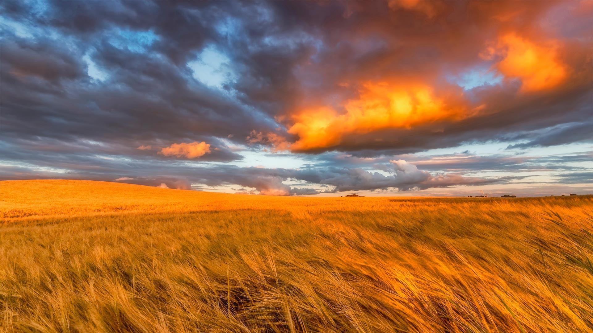 Barley field in East Lothian, Scotland (? Scott Masterton/plainpicture)