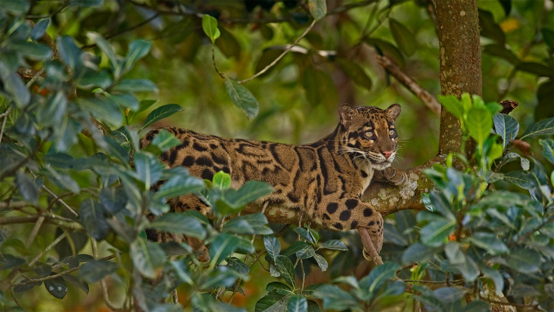 Clouded leopard (? Dhritiman Mukherjee/Alamy)