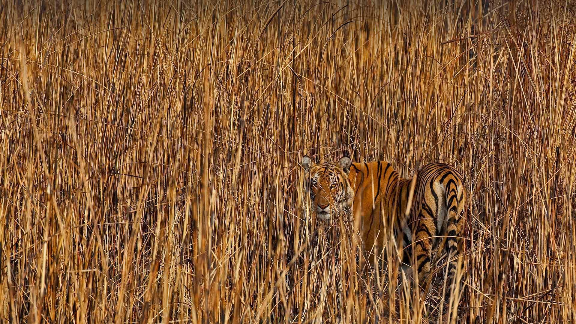 Tiger in Assam, India (? Sandesh Kadur/Minden Pictures)