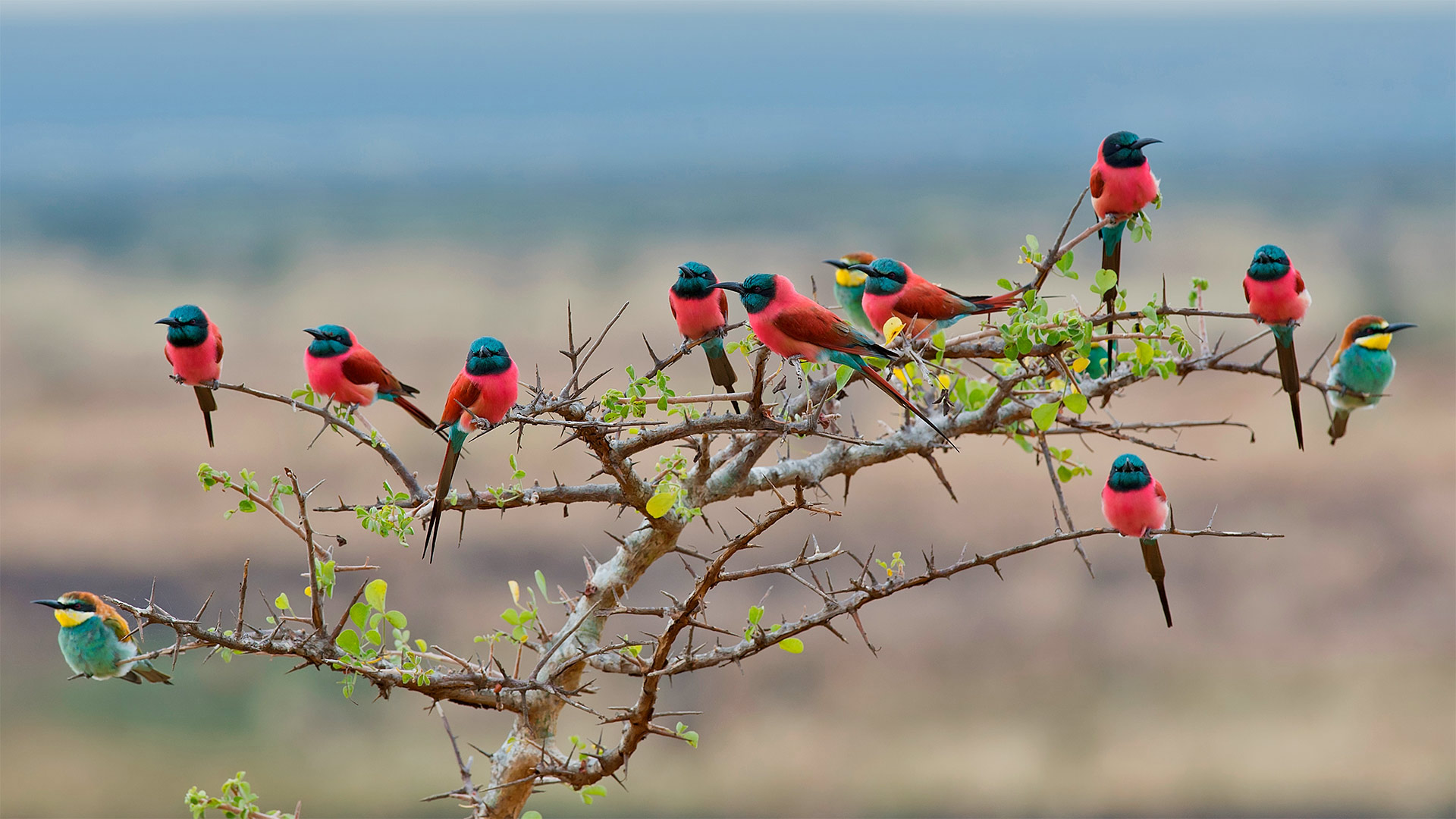Northern carmine and European bee-eaters in Mkomazi National Park, Tanzania (? webguzs/Getty Images)