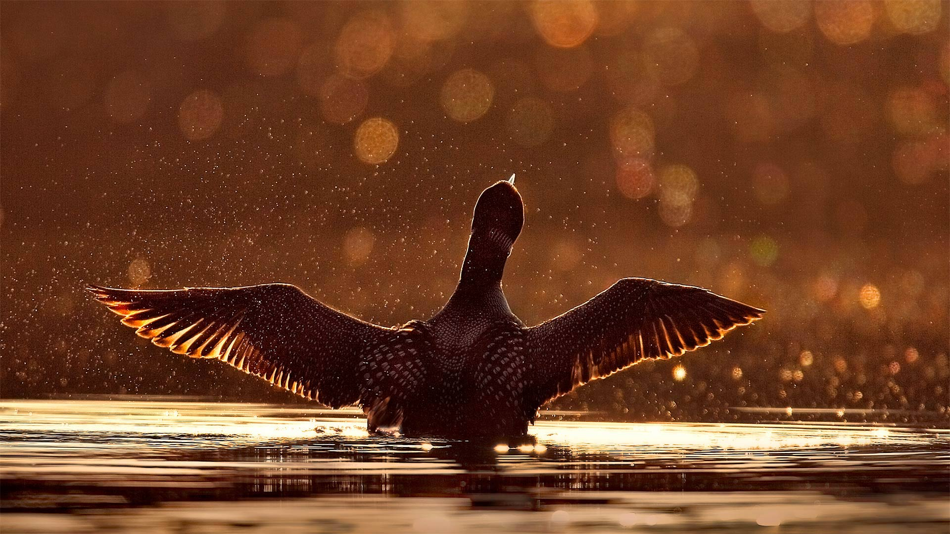 A common loon in the Superior National Forest in Minnesota (© Jim Brandenburg/Minden Pictures)