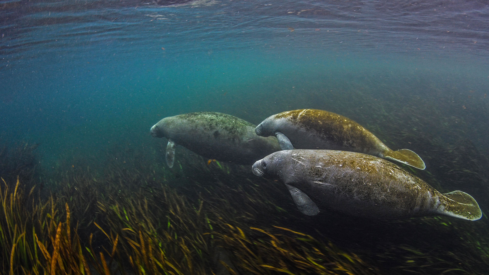 Manatees in the Ichetucknee River in Florida (© Jennifer Adler/Alamy)