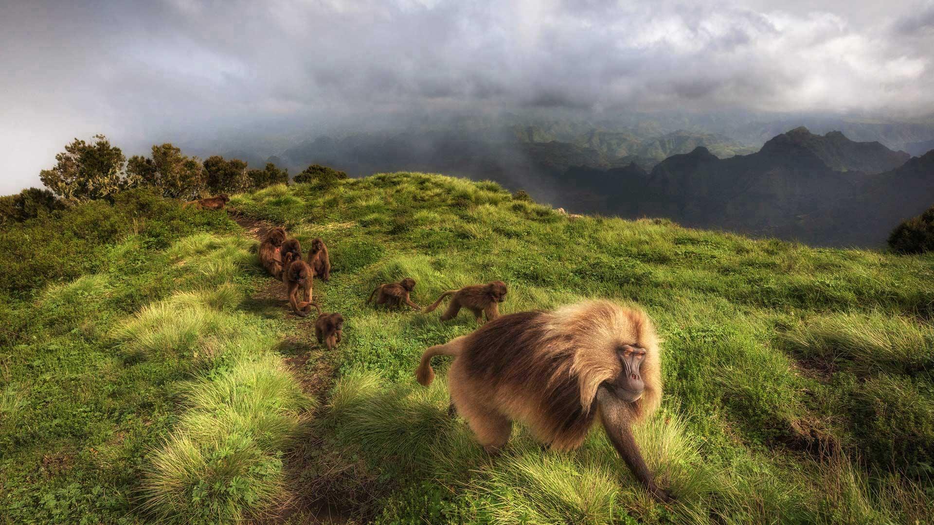 Gelada monkeys in Simien Mountains National Park, northern Ethiopia (© Marco Gaiotti/plainpicture)