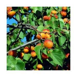 10-best-fresh-apricot-chutney-recipes-yummly image