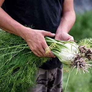 how-to-use-fennel-stalks-and-fronds-to-reduce-waste image